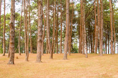 Forrest of green pine trees. Nature Royalty Free Stock Photos