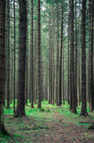 Forrest. High trees in green forrest royalty free stock photo
