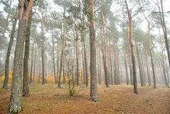 Forrest nebbioso Fotografia Stock