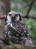 Forrest owl Stock Image