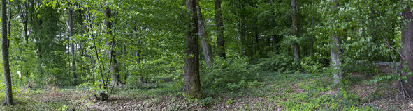 Forrest panorama. Panoramic view of the forrest in the summer time royalty free stock photography