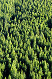 Forrest of Pine Trees. View of forrest of green pine trees on mountainside Royalty Free Stock Images