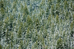 Forrest of Pine Trees. View of forrest of green pine trees on mountainside with snow Stock Photography
