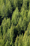 Forrest of Pine Trees. View of forrest of green pine trees on mountainside Royalty Free Stock Image