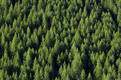 Forrest of Pine Trees royalty free stock photography