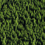 Forrest of Pine Trees. View of forrest of green pine trees on mountainside Stock Photo