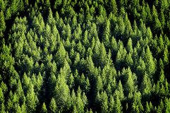 Forrest of Pine Trees. View of forrest of green pine trees on mountainside Stock Image