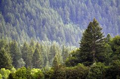Forrest of Pine Trees. Forrest of green pine trees on mountainside with late afternoon sunlight Stock Photos