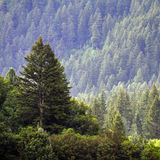 Forrest of Pine Trees royalty free stock image