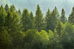 Forrest of Pine Trees in Rain Stock Photo