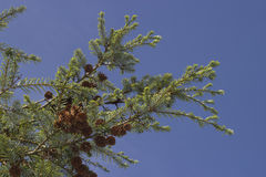Forrest's hemlock - Tsuga forrestii - branches against blue sky Stock Image