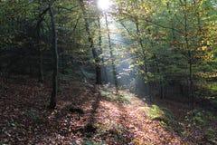 Forrest-Sonnenlicht Stockfotos