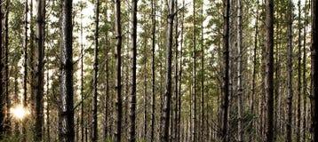 Forrest Sun Anstieg lizenzfreies stockbild