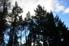 Forrest Treetops Image stock