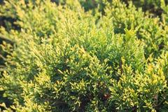 Forrest van groene pijnboombomen Royalty-vrije Stock Fotografie