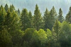 Forrest van Pijnboombomen in Regen Stock Foto