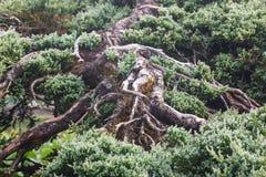Forrest von grünen Kiefern Stockbilder