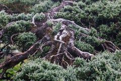 Forrest von grünen Kiefern Lizenzfreie Stockfotos