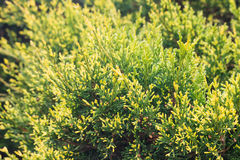 Forrest von grünen Kiefern Lizenzfreie Stockfotografie