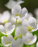 Forrest white flowers close up. In sunny spring afternoon Stock Image