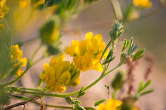 Forrest yellow flowers close up. In sunny autumn evening stock photos