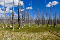 Forrest in Yellowstone stock photo