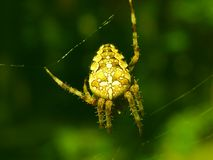 ForrestSpider. A spider caught in forrest. Natural light, no flash, macro + zoom Stock Image