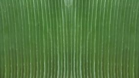 Forro de bandeja biodegradável para a tabela no restaurante, fundo brilhante da folha da banana, papel de parede natural verde or Imagem de Stock Royalty Free
