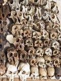 Forsale dos crânios do macaco Fotos de Stock Royalty Free