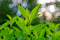Forsar av grönt te Royaltyfria Bilder