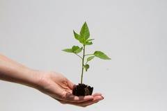 Forsar av växten i hand med land Royaltyfri Bild