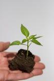 Forsar av växten i hand med land Arkivbilder