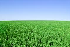 Forsarna av korn på bakgrunden av den blåa himlen Royaltyfria Bilder