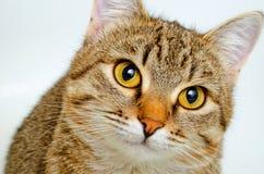 Forschend Blick der Katze Lizenzfreie Stockfotos