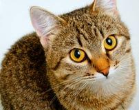 Forschend Blick der Katze Lizenzfreie Stockfotografie