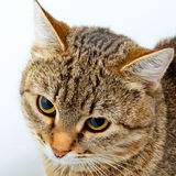 Forschend Blick der Katze Stockbild