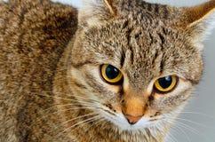 Forschend Blick der Katze Stockfotos