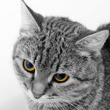 Forschend Blick der Katze Stockfoto