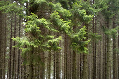 Forset with conifers Stock Images