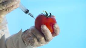 Forskare Injects Tomato med en injektionsspruta arkivfilmer