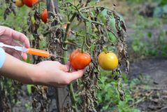 Forskare som injicerar kemikalieer in i den röda tomaten GMO Begrepp för kemisk GMO eller GM-mat Royaltyfria Bilder