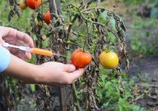 Forskare som injicerar kemikalieer in i den röda tomaten GMO Begrepp för kemisk GMO gm-mat Arkivbild