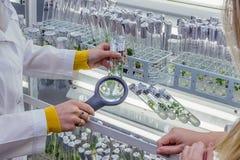 Forskare undersöker cloned vid in vitro teknologimicroplants i provrör i närande medel Arkivbild
