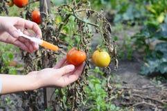 Forskarehänder som injicerar injektionssprutakemikalieer in i den röda tomaten GMO Begrepp för kemiska nitrater GMO eller GM-mat Arkivfoto