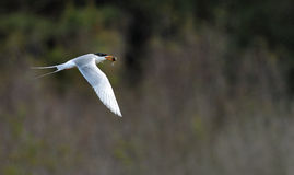 Forst's tern Royalty Free Stock Image