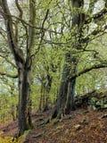 Forst träd i vår med nya gräsplansidor på en brant backe royaltyfri fotografi