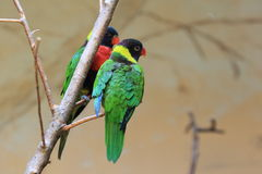 Forsten lorikeet. The couple of Forsten lorikeets on the branch Stock Photo