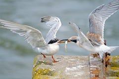 Forster的燕鸥的 免版税库存图片