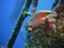 Forster's Hawkfish Royalty Free Stock Image
