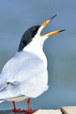 Forster's Tern Royalty Free Stock Images